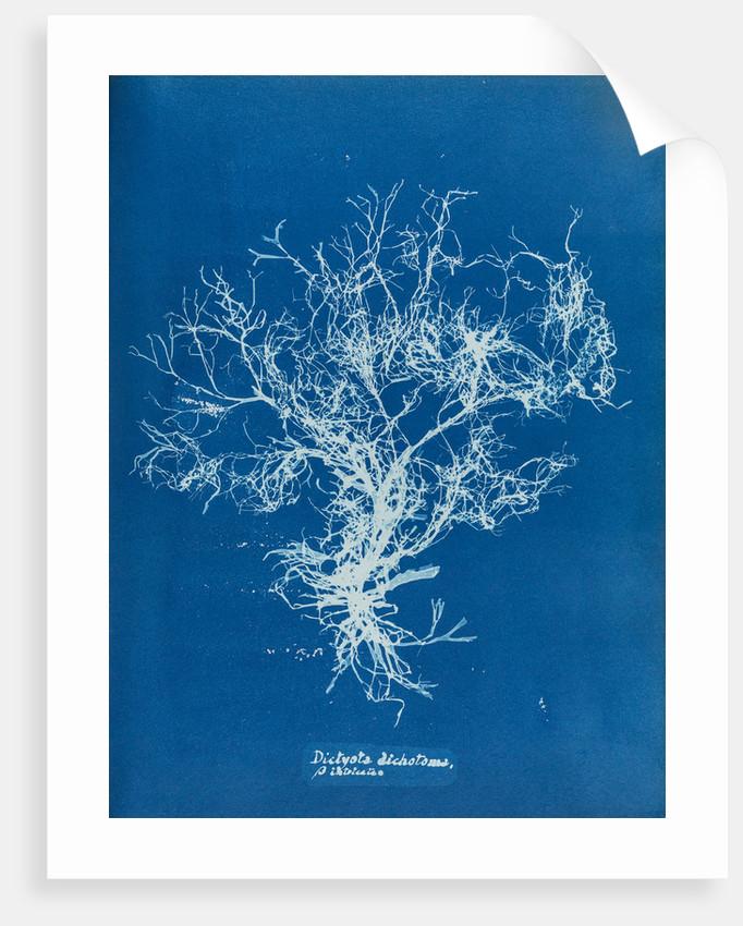Dictyota dichotoma by Anna Atkins