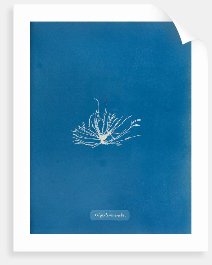 Gigartina erecta by Anna Atkins