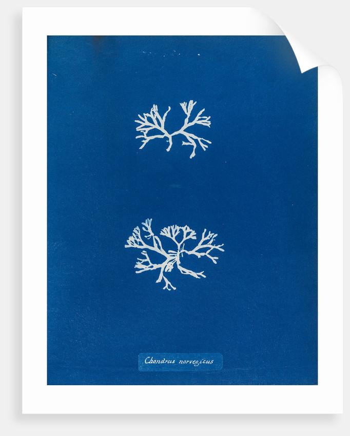Chrondrus norvegicus by Anna Atkins