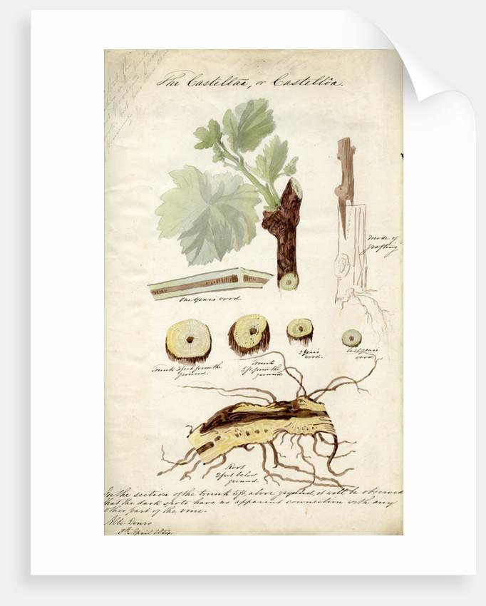 Grape vines by Joseph James Forrester