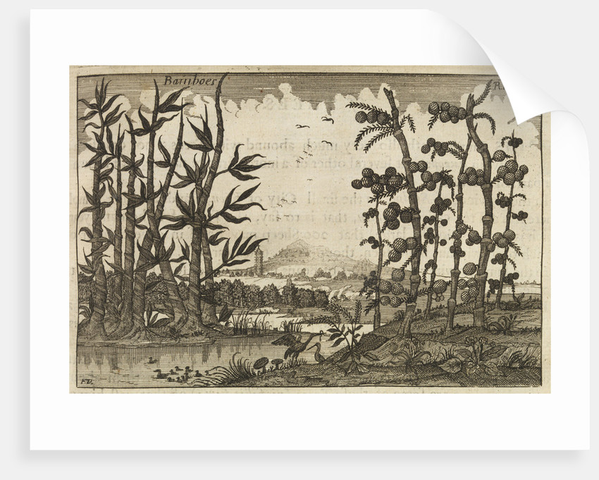Bamboes [Bamboo] by Wenceslaus Hollar