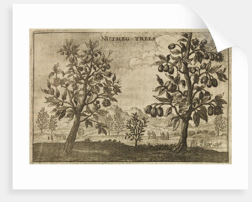 'Nutmeg Trees' by Wenceslaus Hollar