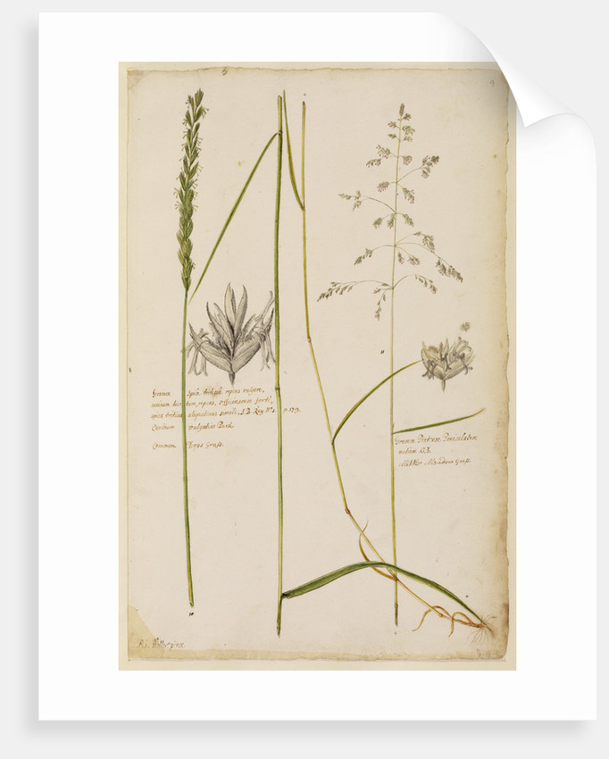 Common dog's grass and middle meadow grass by Richard Waller
