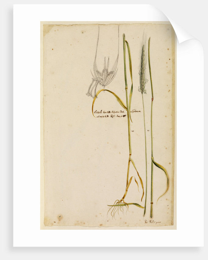 Rye by Richard Waller