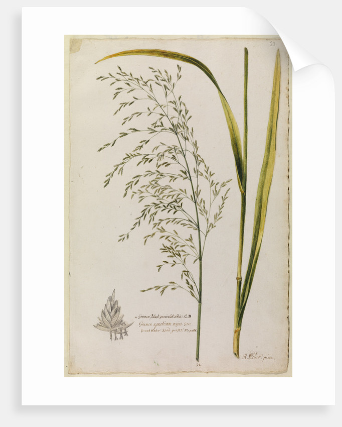 Great water reed grass by Richard Waller