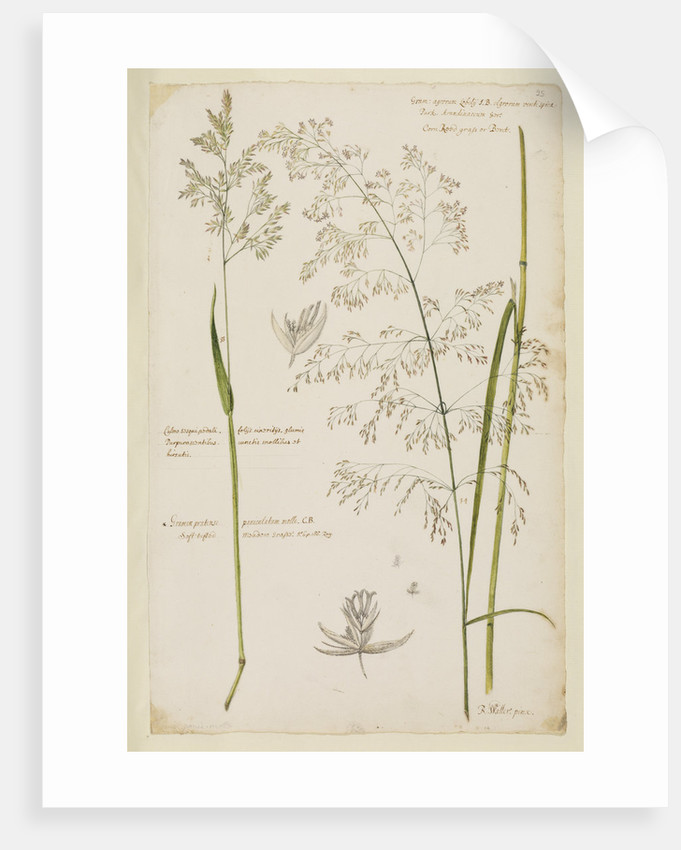 Soft tufted meadow grass and corn reed grass by Richard Waller