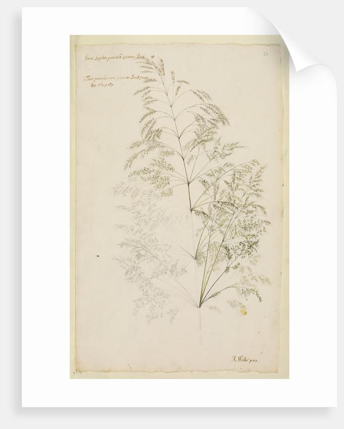 Fair panicled corn grass, or bent grass by Richard Waller
