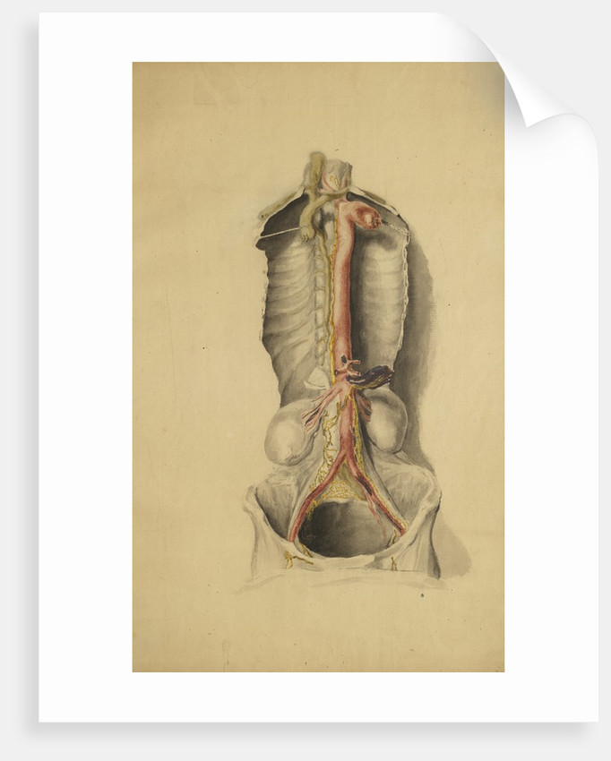 Anatomical study of the thoracic duct posters & prints by Thomas Bonnor