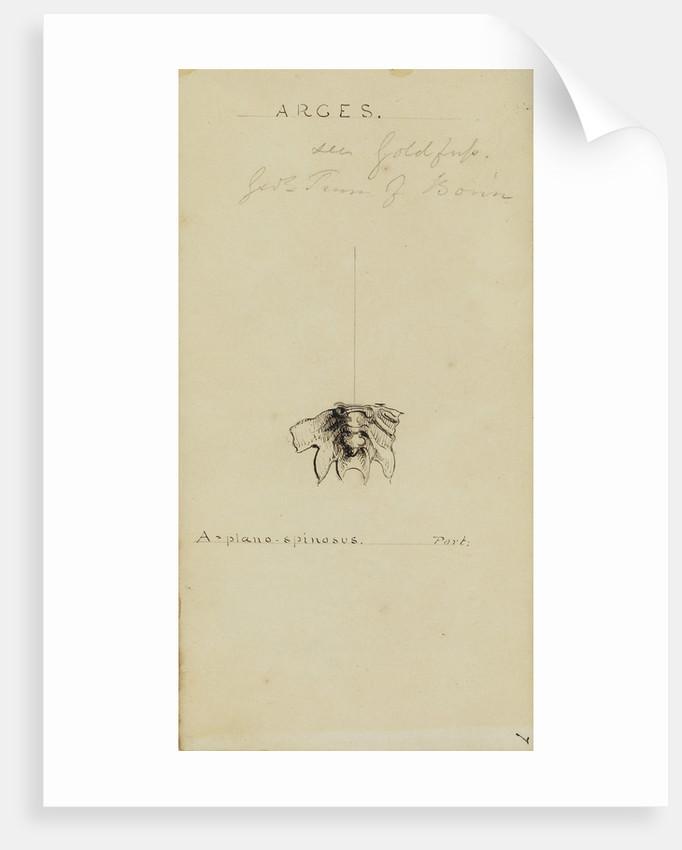 Arges, genus of trilobite by Henry James