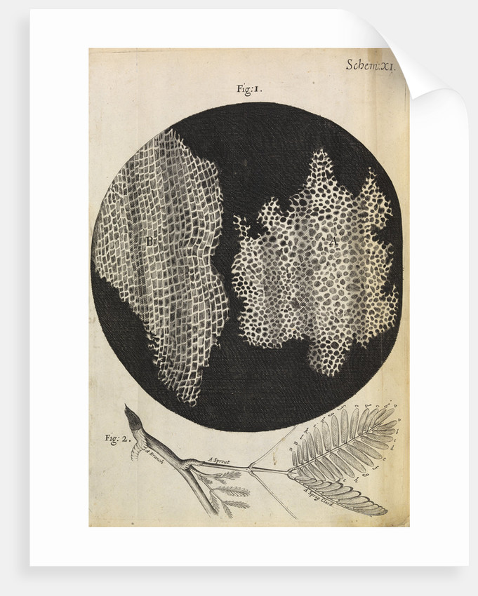 Microscopic view of cells in a sliver of cork by Robert Hooke