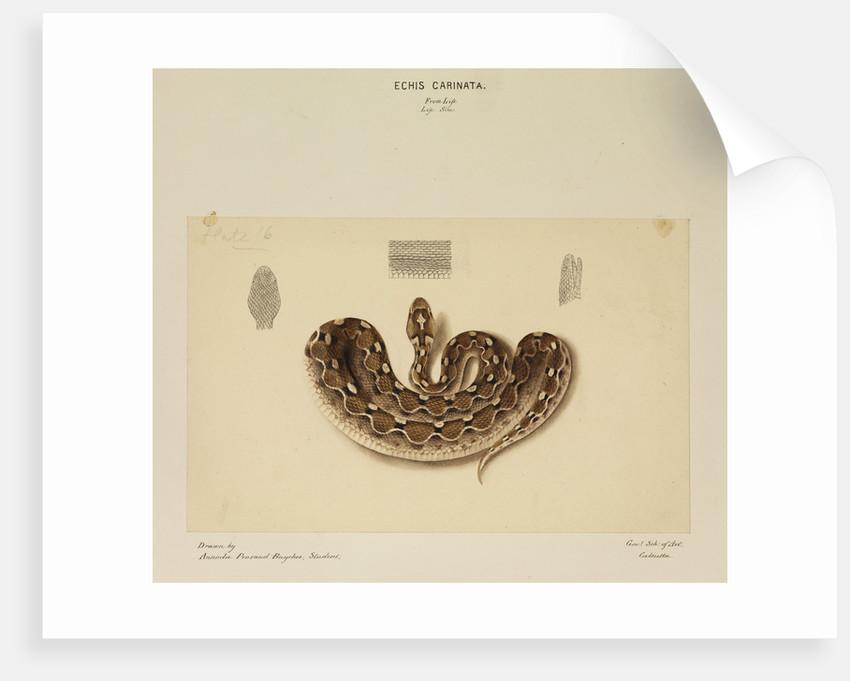 Saw-scaled viper by Annada Prasad Bagchi