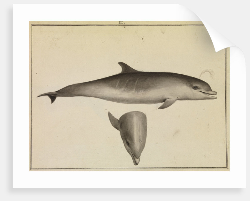 Bottlenose dolphin by William Bell