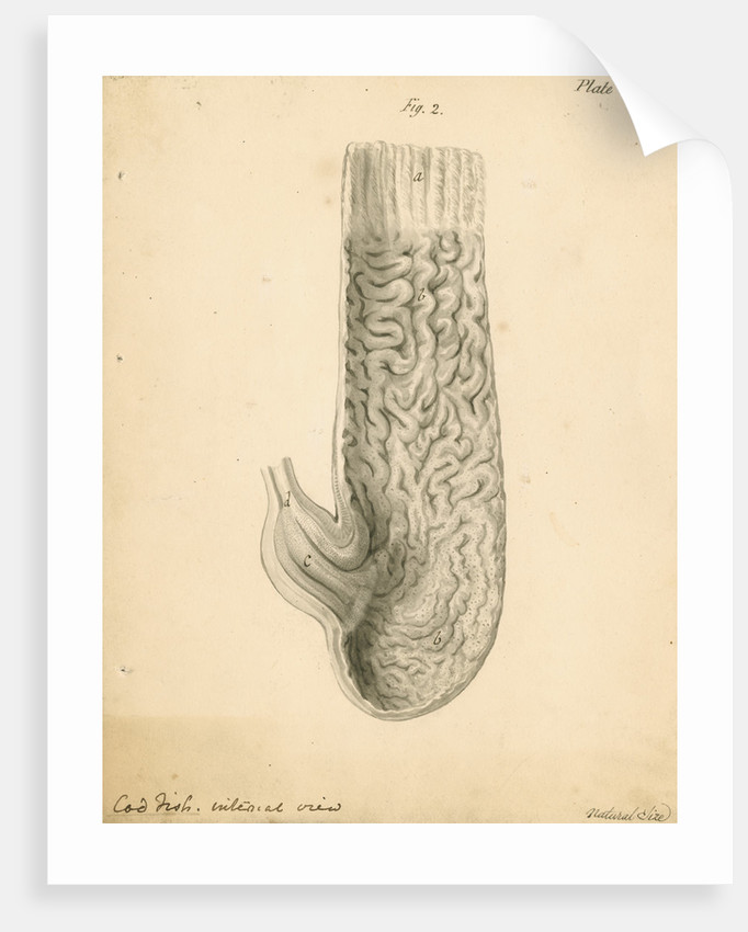 'Cod fish internal view' by William Clift