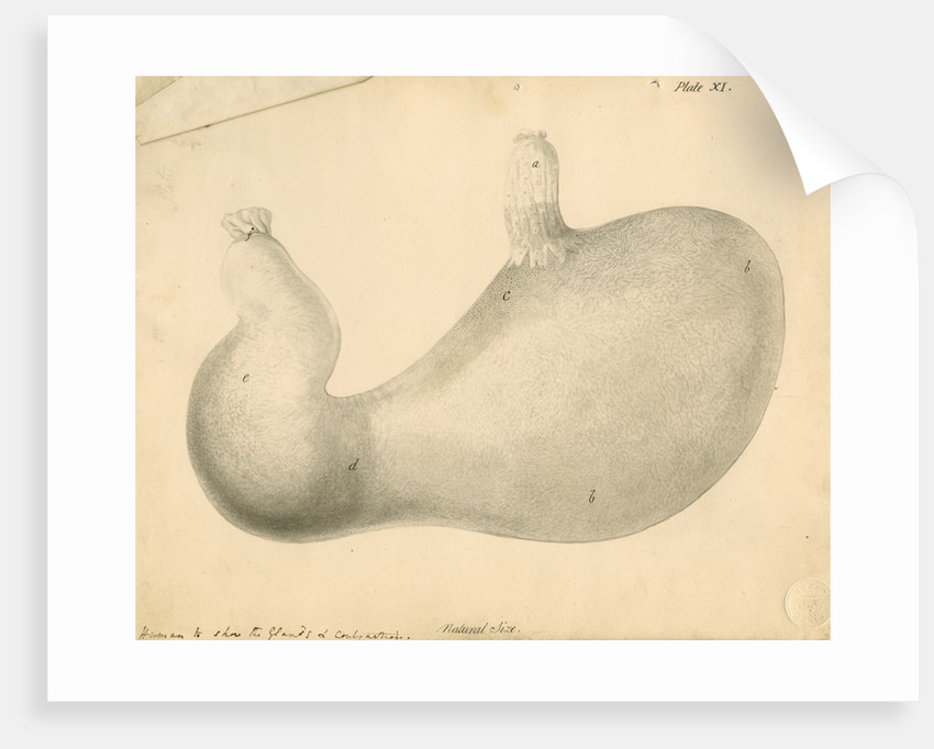 'Human [stomach] to show the Glands...' by William Clift