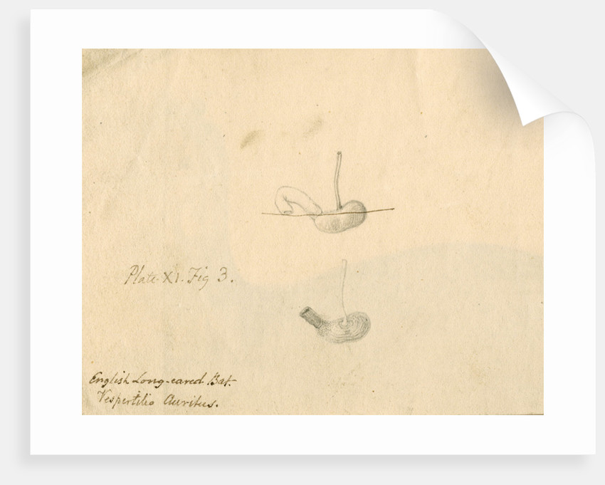 'English long-eared bat [stomach]...' by William Clift