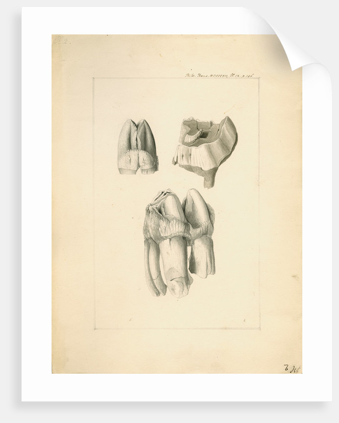 Fossil hippopotamus grinding teeth by Anonymous