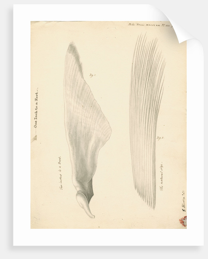 Pectoral fin of the Squalus maximus [Basking shark] by John Howship