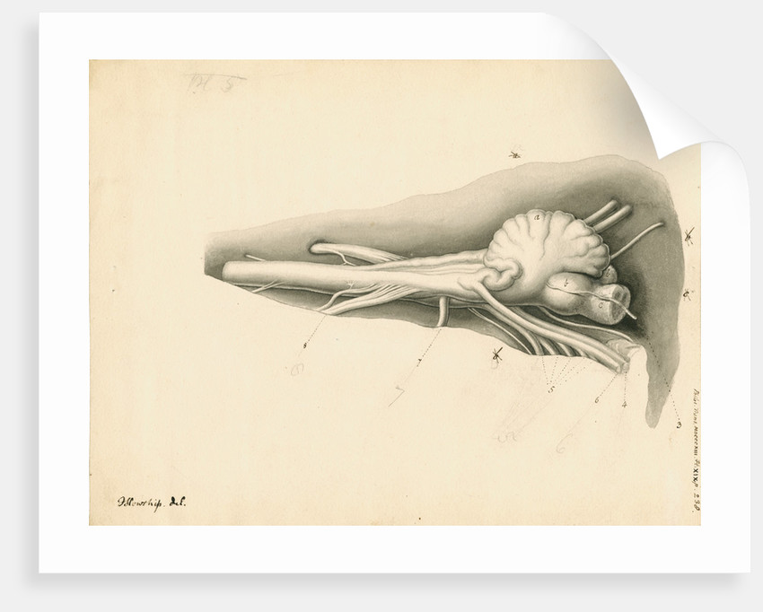 Cerebellum of the Squalus maximus [Basking shark] by John Howship