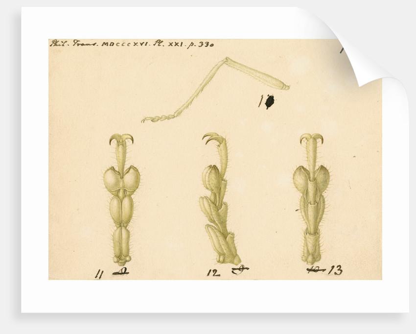 Oak bush-cricket legs by Franz Andreas Bauer