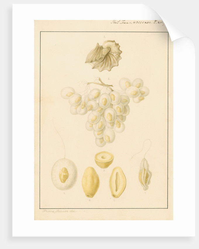 Argonaut shell and eggs by Franz Andreas Bauer