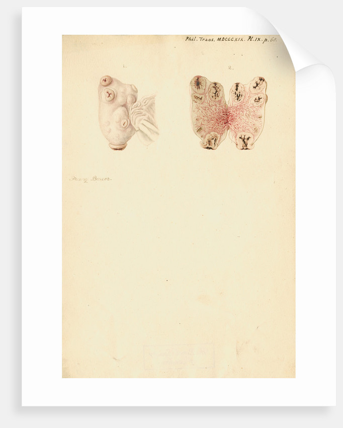 Ovaries of a pig by Franz Andreas Bauer