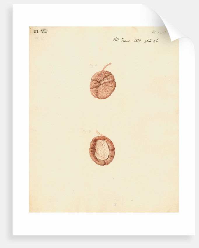 Rabbit placenta by William Clift