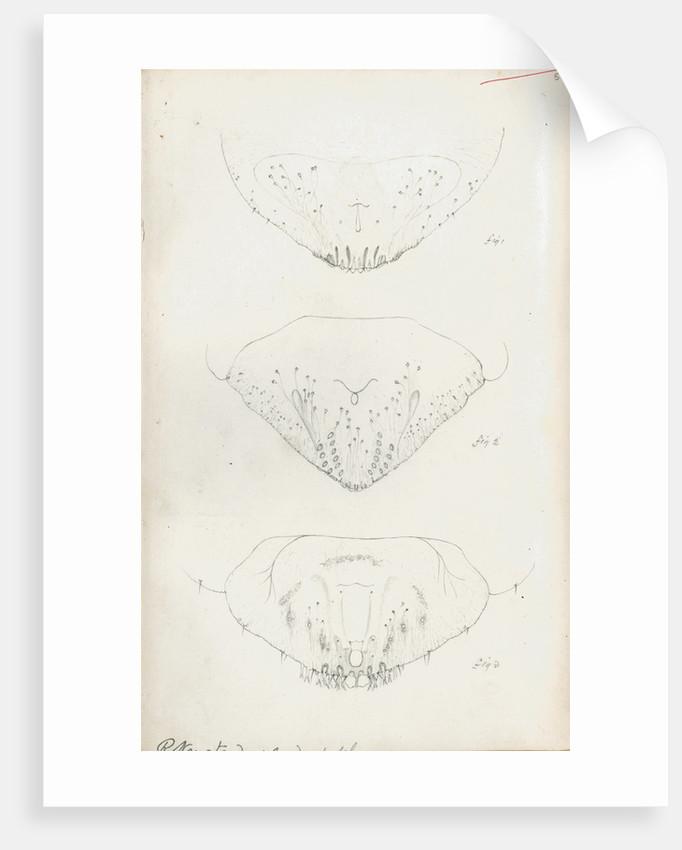 Posterior body parts of Aspidiotus personatus, Aspidiotus bromellae and Aspidiotus camellae by Robert Newstead