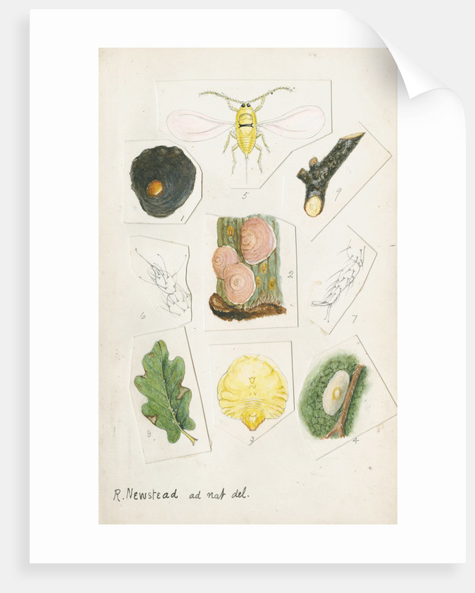 Aspidiotus zonatus by Robert Newstead