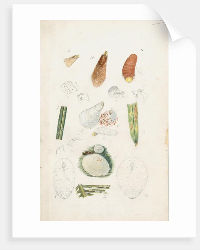 Poliaspis cycadis [Poliaspis cycad scale], Pinnaspis buxi [Boxwood scale] and Diaspis zamiae by Robert Newstead