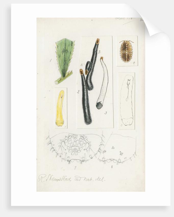 Ischnaspis filiformis by Robert Newstead