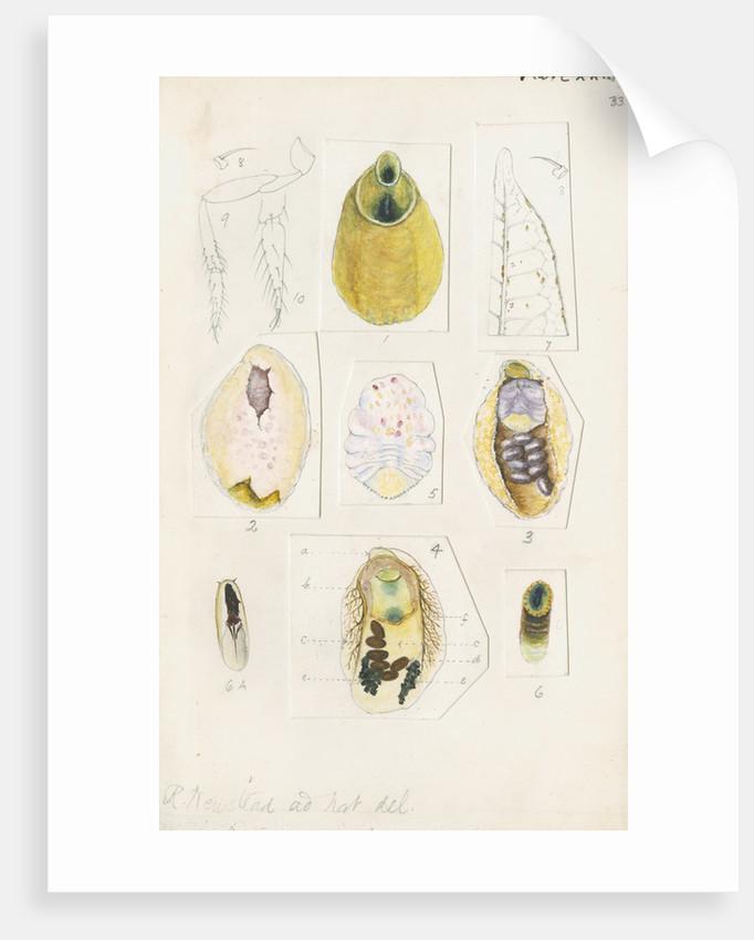 Parlatoria proteus, var. Crotonis by Robert Newstead