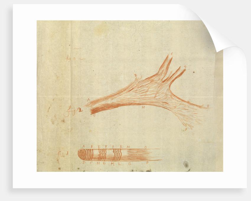 Microscopic views of muscle fibres of fish by Antoni van Leeuwenhoek