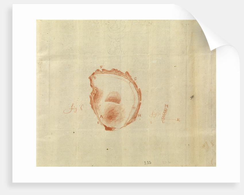 Microscopic view of an oyster shell by Antoni van Leeuwenhoek