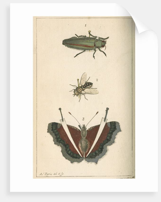 Specimens of a beetle, insect and butterfly by Moses Harris