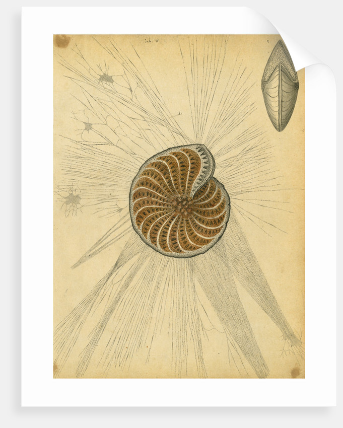 'Polystomella strigilata' [specimens of foraminifera] by Henry Bowman Brady