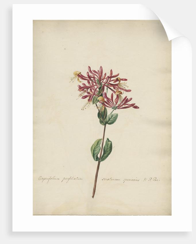 Caprifolium perfoliatum... by Jacob van Huysum