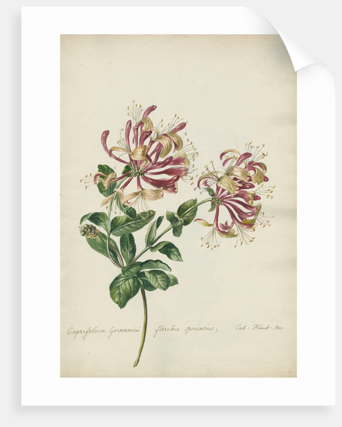 'Caprifolium Germanicu...' by Jacob van Huysum