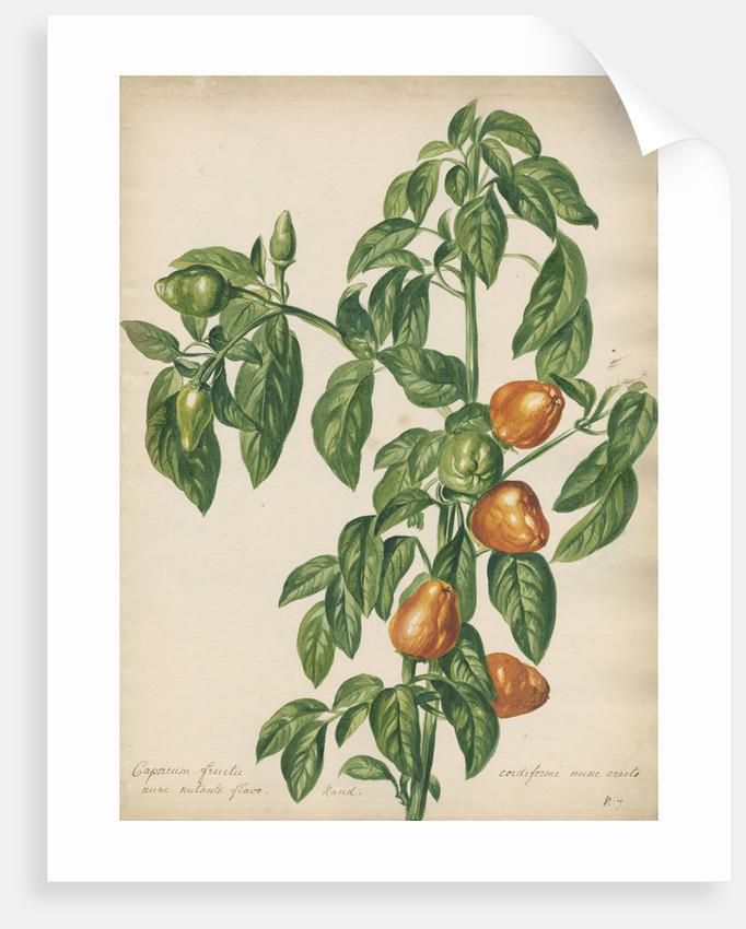 Capsicum fructu cordiformi... by Jacob van Huysum