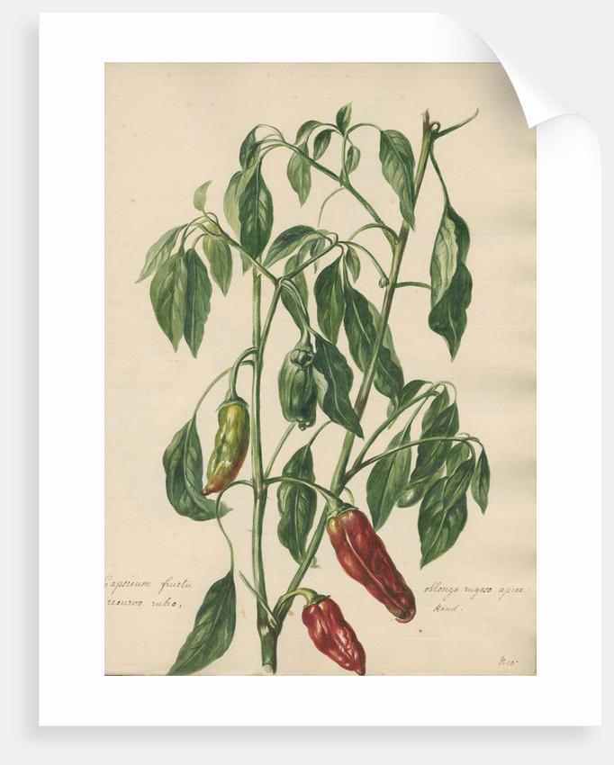 Capsicum fructu oblongo rugoso... by Jacob van Huysum