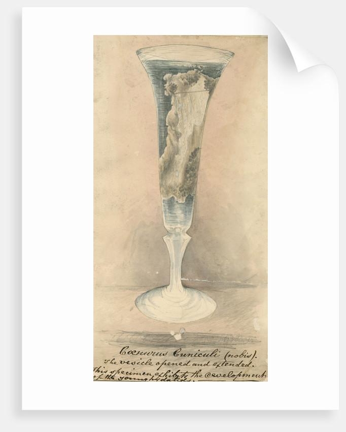 'Coenurus Cuniculi' by George John Rose