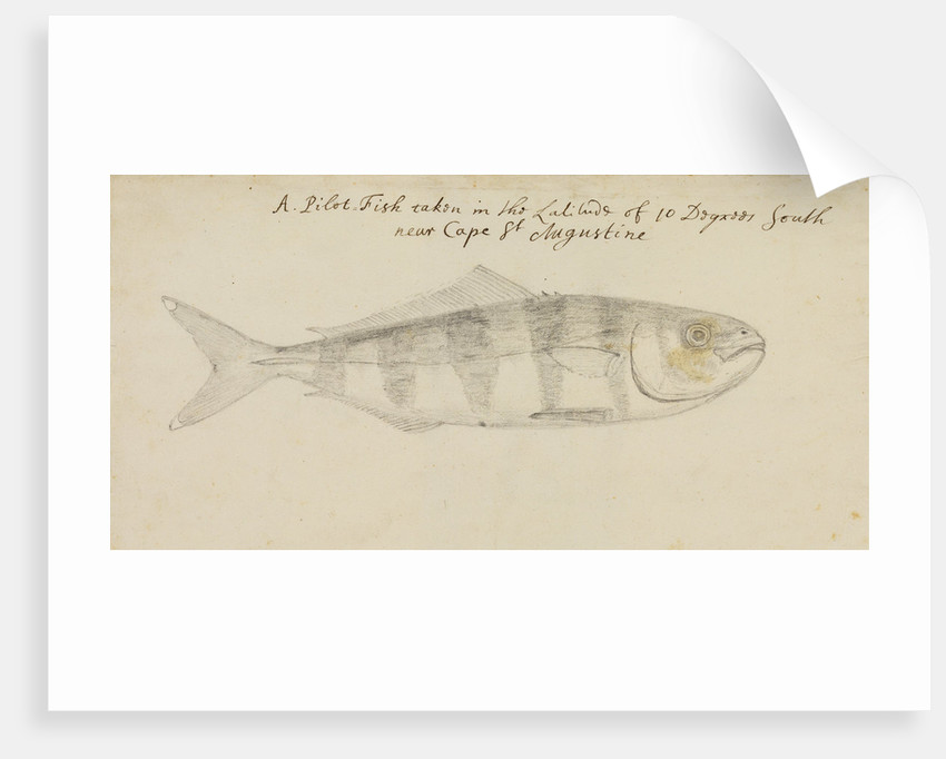 Pilot fish by Edmond Halley