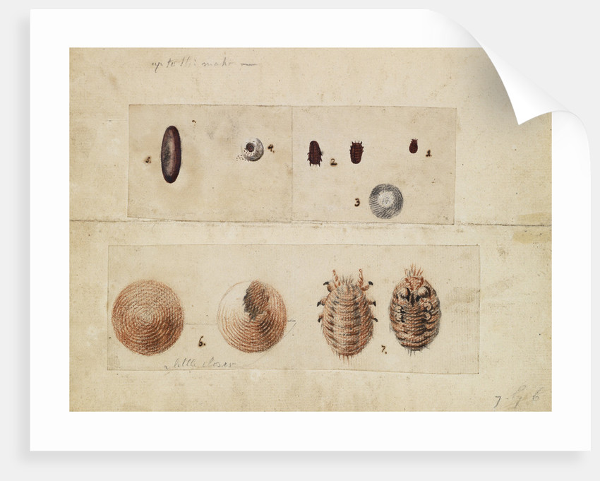 Polish cochineal insects by James Mynde