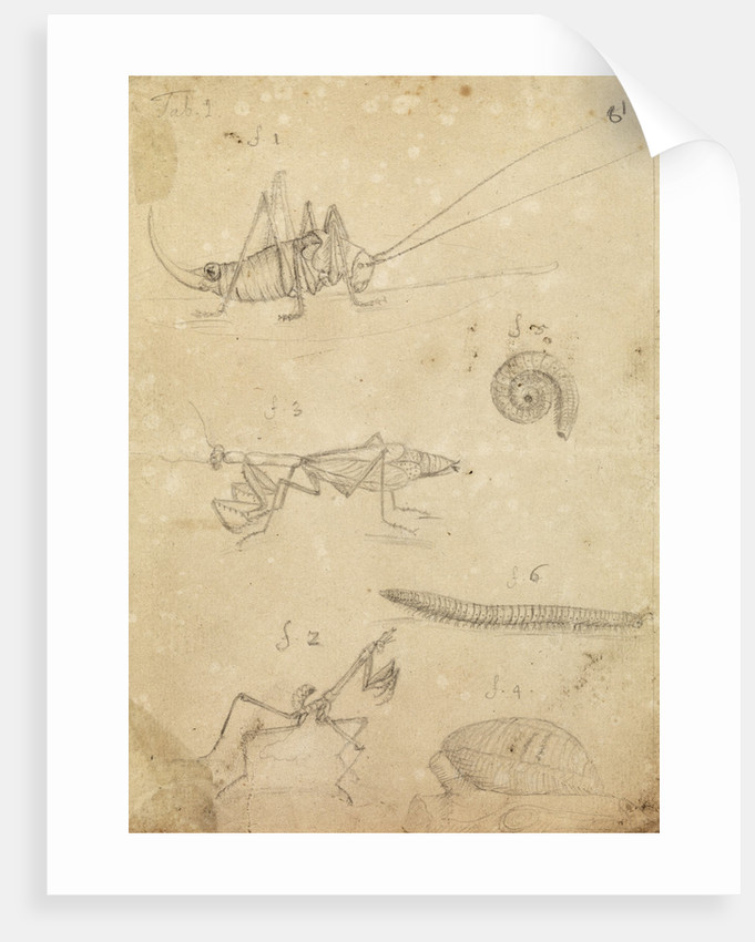Cricket and two varieties of mantis by Johannes Philippus Breynius