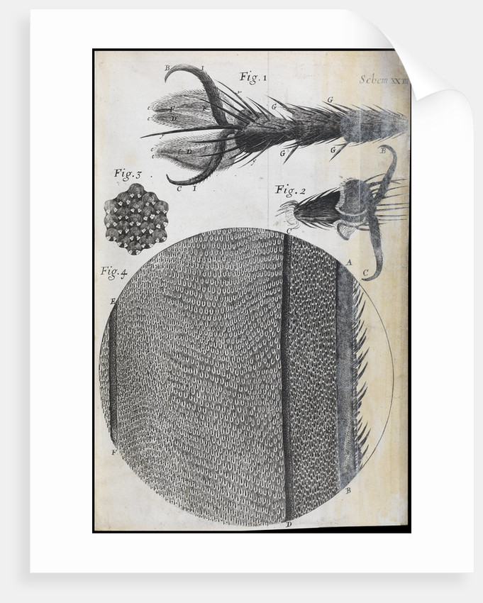 Microscopic views of a fly by Robert Hooke
