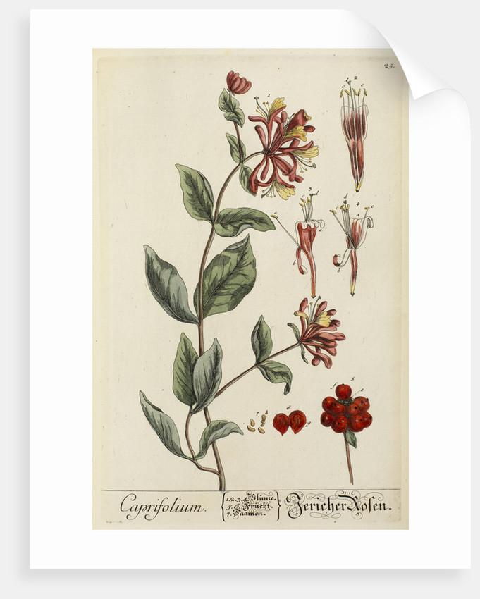 Caprifolium by Elizabeth Blackwell