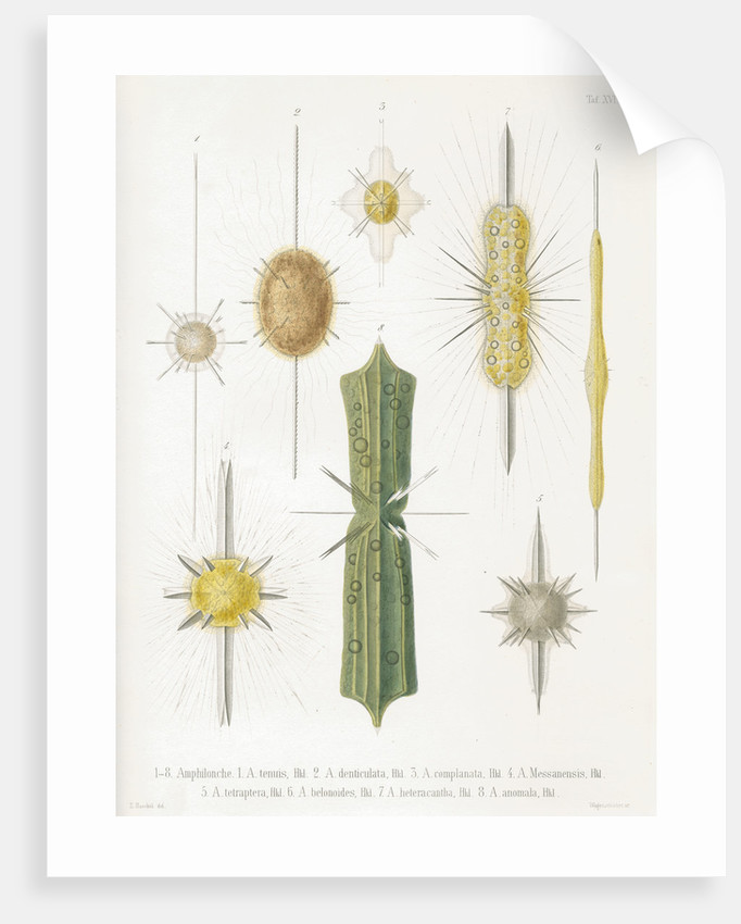 Various classes of radiolarian by W Wagenschieber