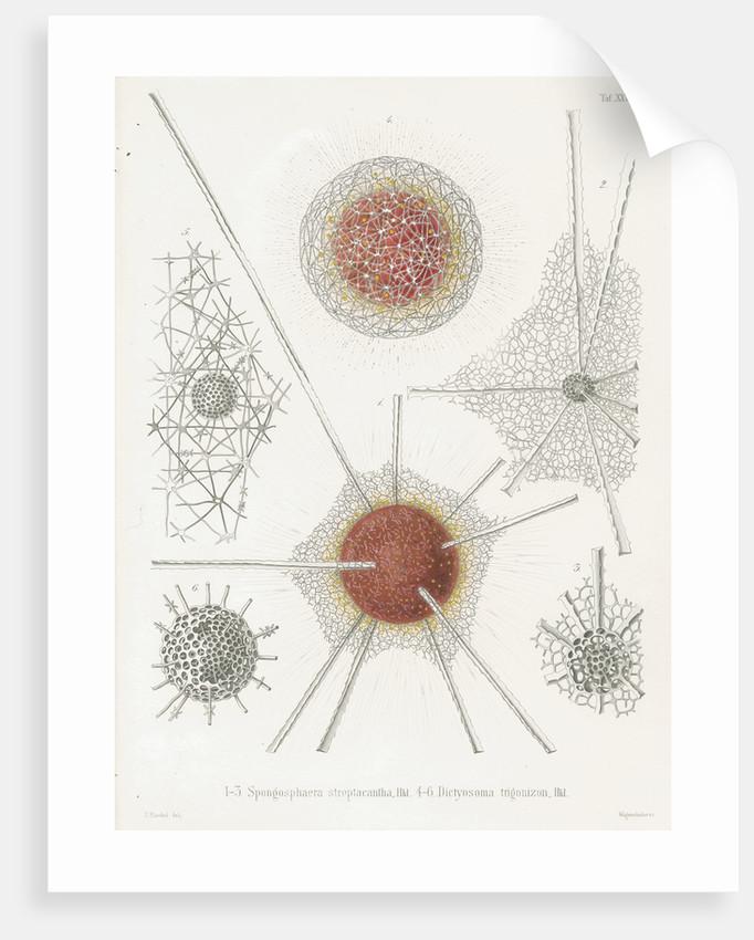 'Spongosphaera streptacantha' and 'Dictyosoma trigonizon' by W Wagenschieber