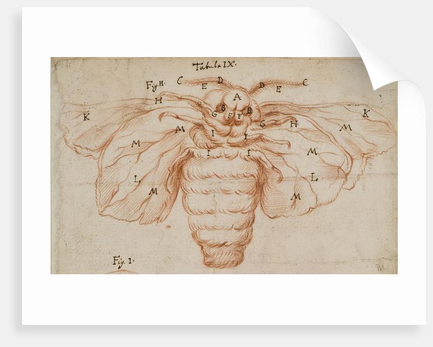 A silk moth by Marcello Malpighi