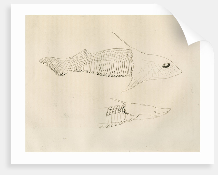 Armoured fish ['Placodermi'] by Anonymous