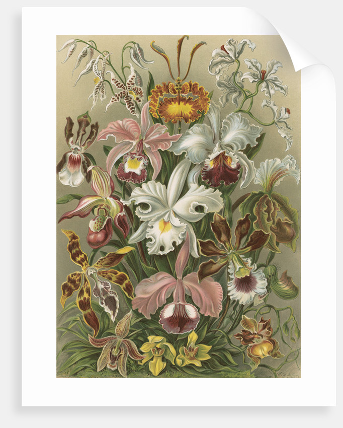 'Orchideae' [orchids] by Adolf Giltsch